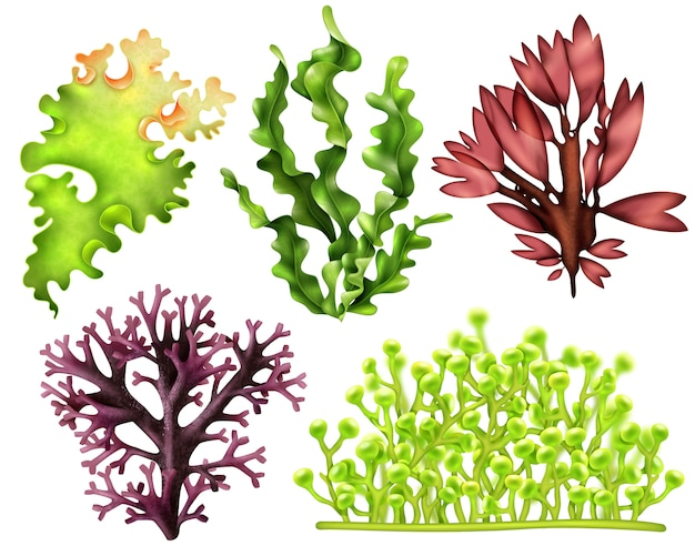 Insieme dell'alimento realistico erbacce di mare