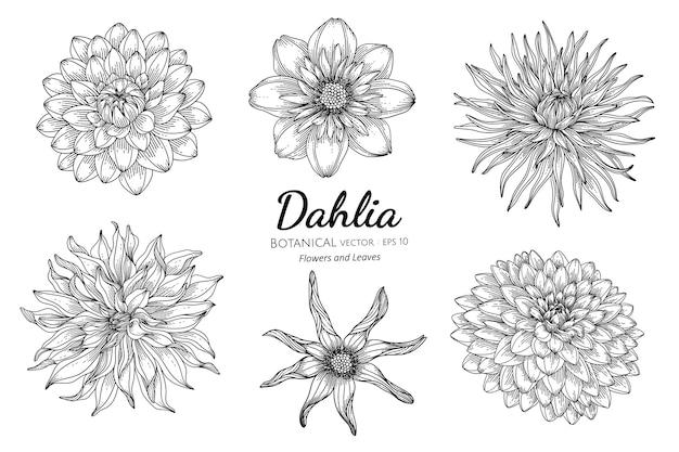 Insieme dell'illustrazione botanica disegnata a mano del fiore e della foglia della dalia con la linea arte sulla dalia bianca