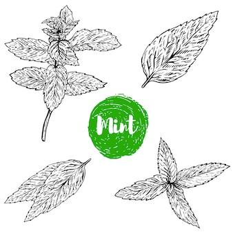 Insieme dell'illustrazione dell'erba della menta verde su fondo bianco