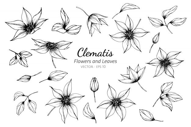 Insieme della raccolta del fiore della clematide e foglie che disegnano illustrazione.
