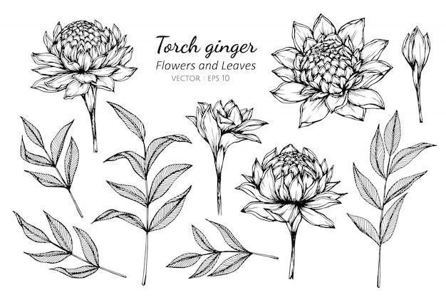 Insieme della raccolta del fiore dello zenzero della torcia e foglie che disegnano l'illustrazione.