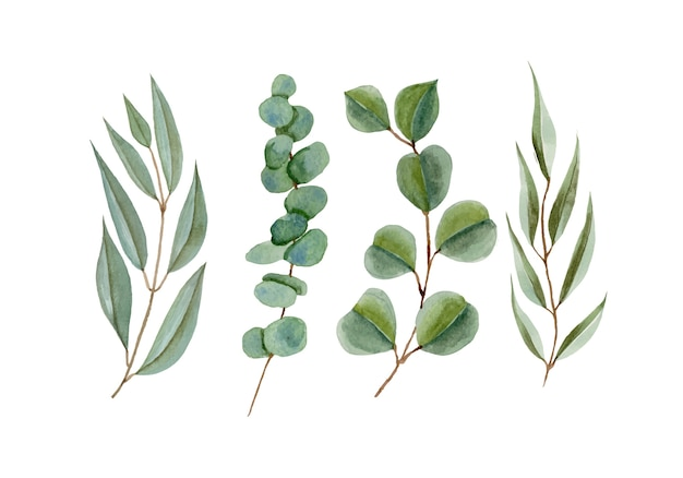 Insieme delle foglie del ramo di eucalipto dell'acquerello isolato su bianco