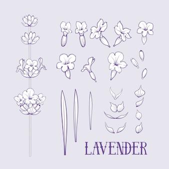 Insieme di elementi di fiori di lavanda.