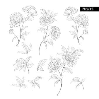 Insieme di elementi di fiori di peonia