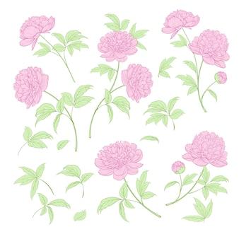 Insieme di elementi di fiori di peonia.