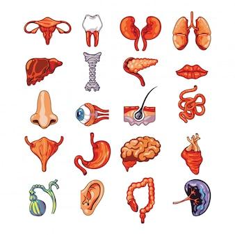 Insieme di organi interni umani tra cui cervello, cuore, fegato, milza, reni, sistema riproduttivo, pelle isolato illustrazione vettoriale