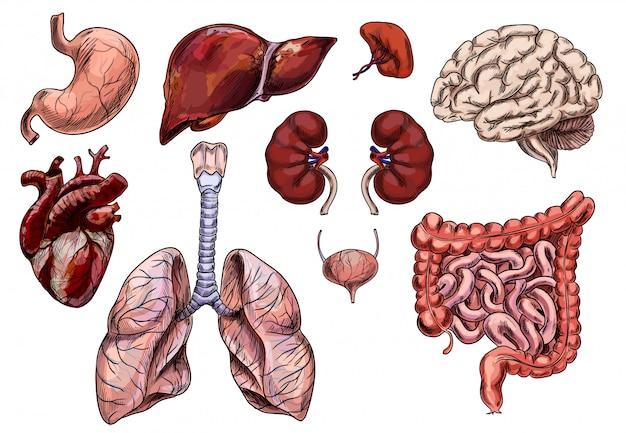 Insieme di organi umani, cuore, cervello, stomaco, fegato, rene
