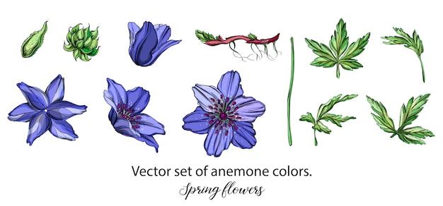 Insieme di vettore dei colori blu anemone. fiori di primavera