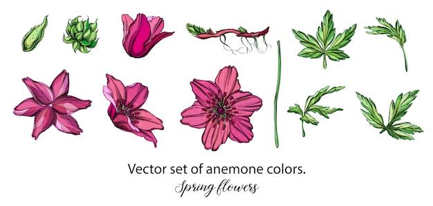 Insieme di vettore dei fiori di anemone viola. fiori di primavera