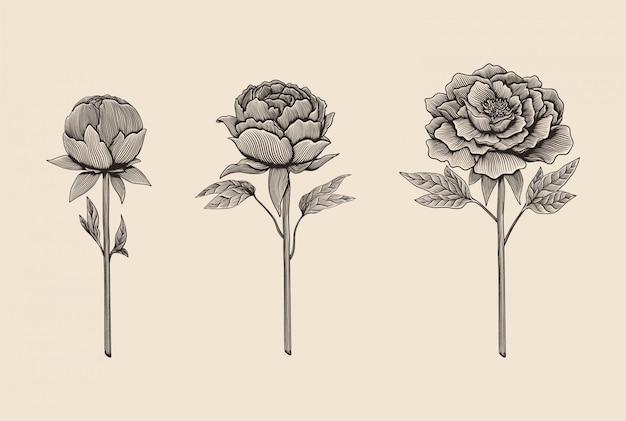 Insieme disegnato a mano dell'illustrazione della peonia di stile dell'incisione