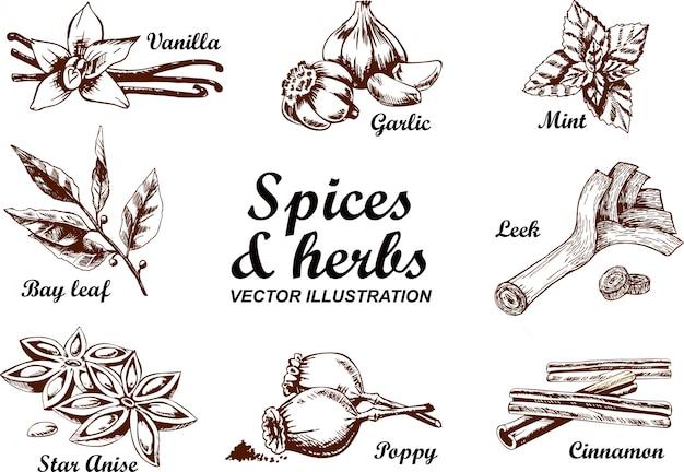Insieme disegnato a mano di vettore con erbe e spezie culinarie. illustrazione di schizzo