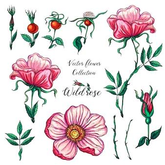 Insieme floreale di vettore dei fiori di rosa selvaggi