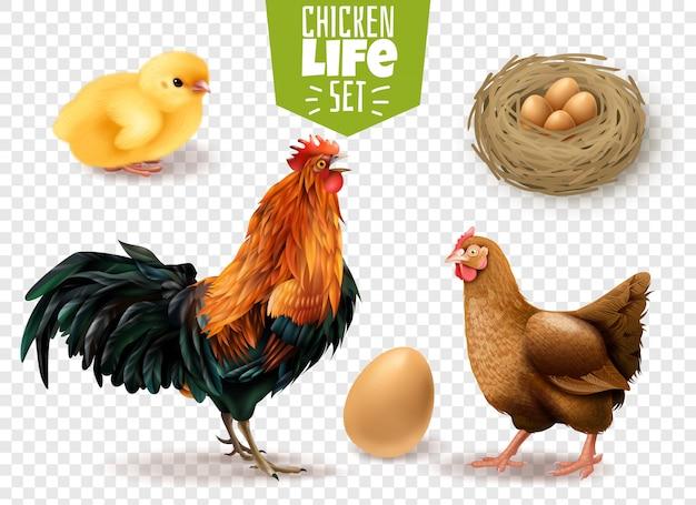 Insieme realistico del ciclo di vita del pollo dalle uova che depongono i pulcini che covano agli uccelli adulti trasparenti