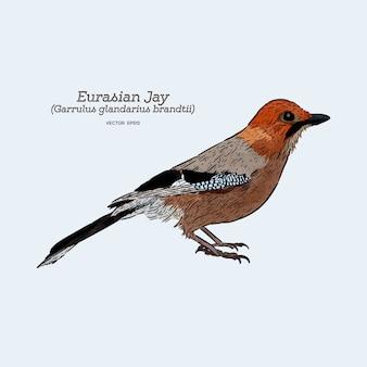 Jay euroasiatico (garrulus glandarius). schizzo di disegno a mano.