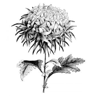 L'incisione del crisantemo giapponese fiorisce le illustrazioni d'annata