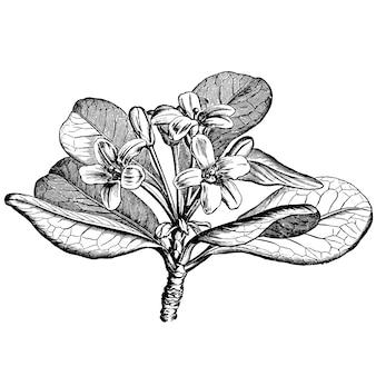 L'incisione di pittosporum viridiflor fiorisce le illustrazioni dell'annata