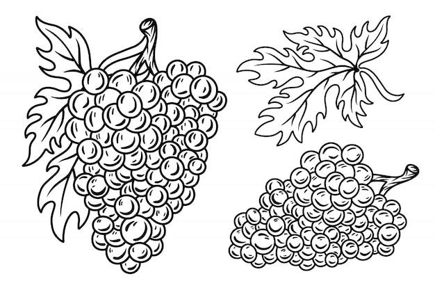 L'insieme della retro vite d'annata del mazzo di uva con le foglie ha isolato l'illustrazione su un fondo bianco.
