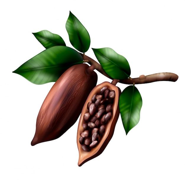La composizione realistica nel ramo di cacao con l'immagine dei frutti del cacao sull'arto con le foglie ed i fagioli