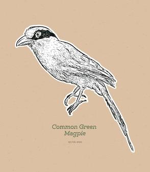 La gazza verde comune è un membro della famiglia dei corvi.