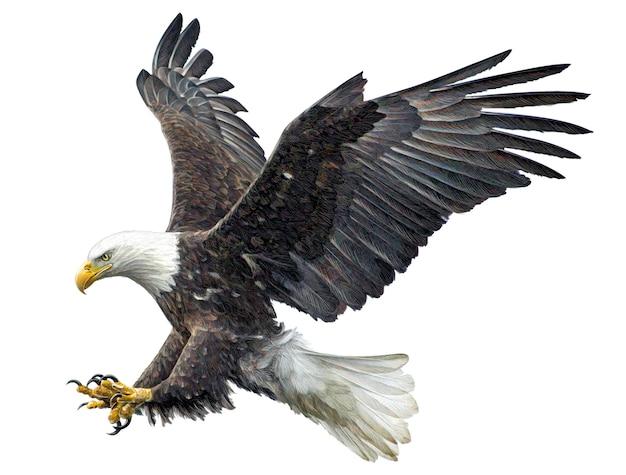 La mano di attacco di volo dell'aquila calva attinge il fondo bianco.