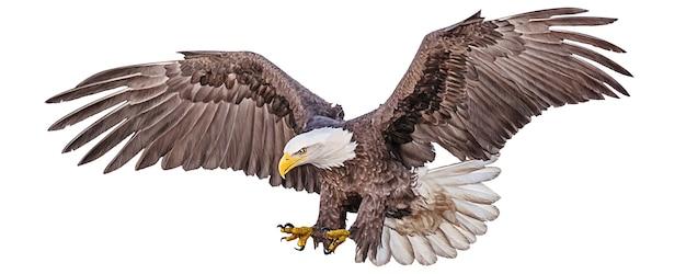 La mano di swoop di volo dell'aquila calva disegna e dipinge il colore su bianco