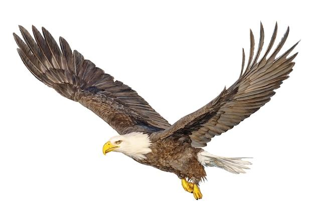 La mano di volo dell'aquila calva assorbe e dipinge il colore su bianco.