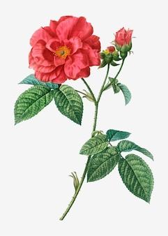 La rosa del farmacista