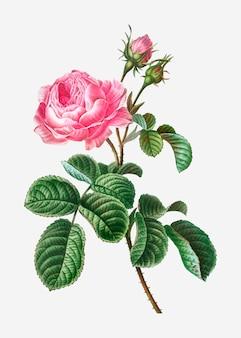 La rosa della provenza