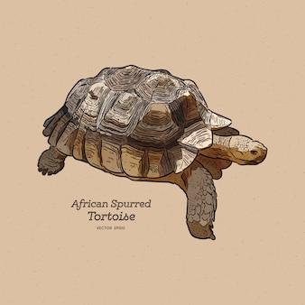La tartaruga speronata africana