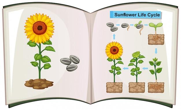 Libro che mostra il diagramma del ciclo di vita del girasole