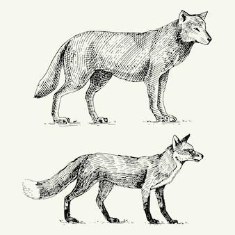 Lupo grigio selvaggio e volpe rossa incisi disegnati a mano nel vecchio stile di schizzo, animali d'epoca