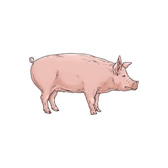 Maiale o porcellino un carattere animale da fattoria, illustrazione di schizzo