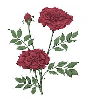Mano delle rose che disegna l'illustrazione d'annata dell'incisione su fondo bianco
