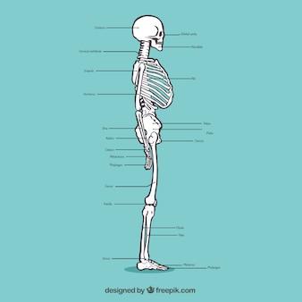 Mano scheletro profilo disegnato