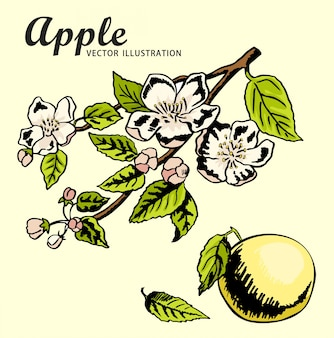 Mele del disegno della mano sul ramo di melo. schizzo di disegno a colori. primavera, natura, melo in fiore.