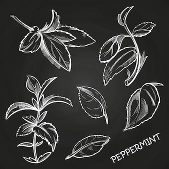 Menta piperita delle foglie di menta disegnata a mano messa sulla lavagna