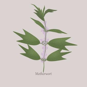 Motherwort erbacea perenne con fioritura bianca.