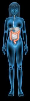 Neon femmina umana con intestino luminoso