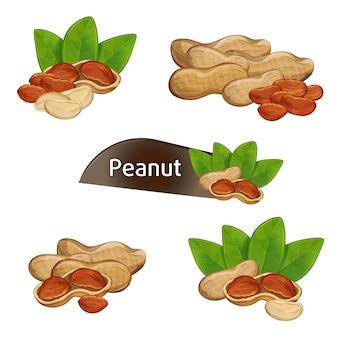 Nocciolo di arachidi in breve con foglie incastonate