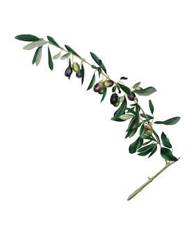 Olive dall'illustrazione di pomona italiana