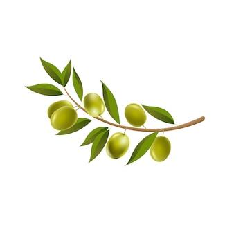 Olive del ramo con fondo bianco isolato foglia