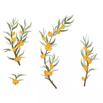 Olivello spinoso dell'acquerello