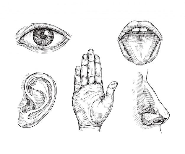 Organi di senso. bocca e lingua disegnate a mano, occhi, naso, orecchie e palmo della mano. illustrazione di vettore di cinque sensi dell'incisione