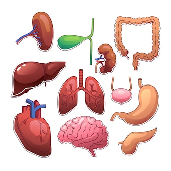 Organi interni umani
