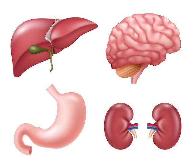 Organi umani. immagini di anatomia realistica medica educativa dello stomaco del cervello degli occhi del fegato dei reni del cuore