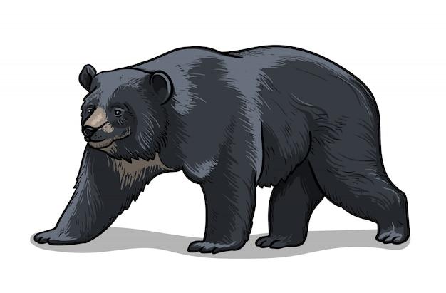 Orso himalayano isolato nello stile del fumetto. illustrazione educativa di zoologia, immagine del libro da colorare.