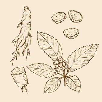 Pacchetto di piante di ginseng disegnato a mano realistico