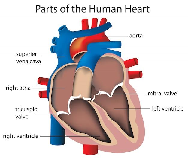 Parti del cuore
