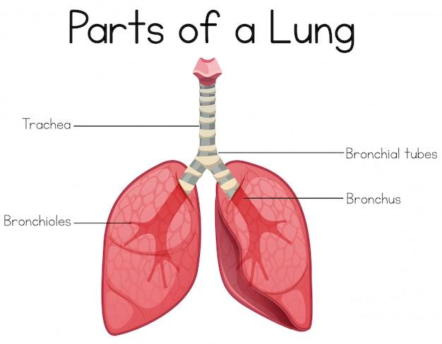 Parti di un polmone su sfondo bianco