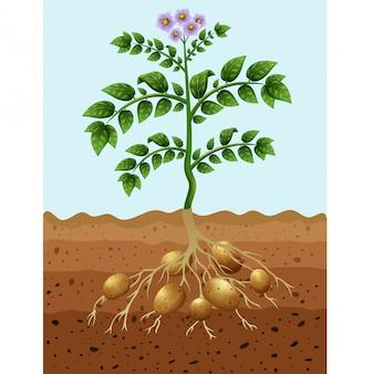 Patate che piantano nel terreno